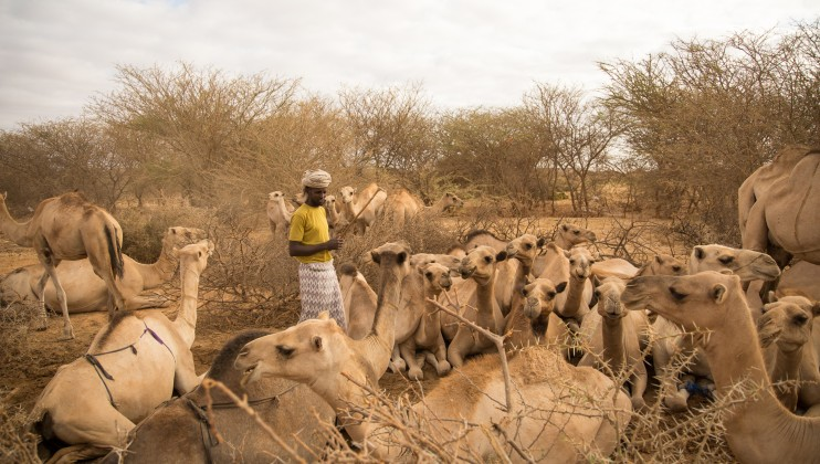 The pastoral community are the hardest-hit by the unpredictable weather trends in Somalia. Longer dry spells and delayed poor rains make it difficult to move around with the animals in anticipation of more favourable weather. Abdikarim Mohamed/ICRC