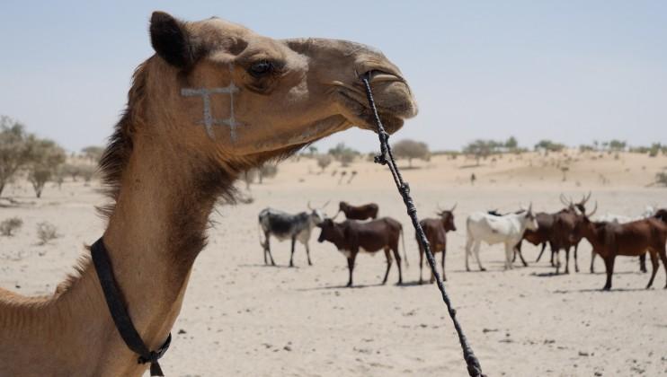 Image d'un chameau avec troupeau de boeufs après s'être faits vacciner.