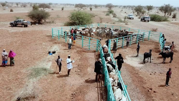 Boubacar observe son troupeau se faire vacciner.