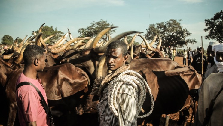 Herders and their livestock in Bambari, in the interior of the CAR.   Florent Vergnes/ ICRC